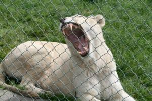 lion teeth